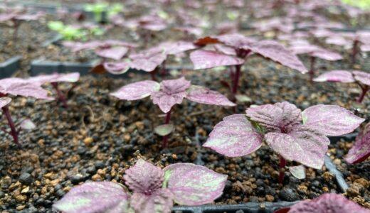 紫蘇、植え付けならず