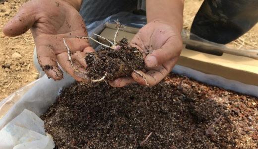 熱き自然薯植え