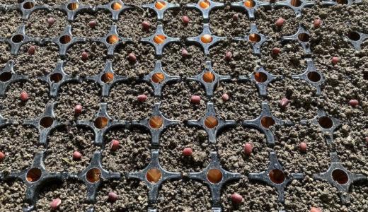 豆の苗作り