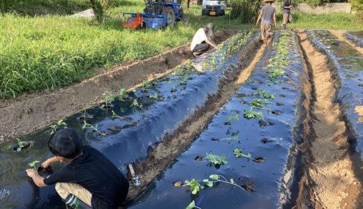 小豆を植えきる!