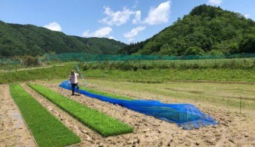 すくすくお米の苗は育つ